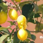 """""""Fruit Of The Lemon"""""""